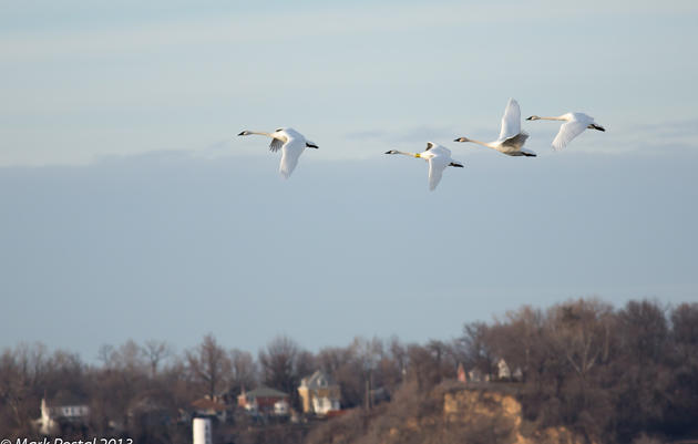 Trumpeter Swans at Riverlands