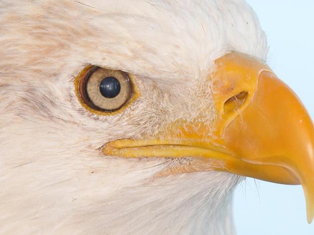 Bald Eagles at Riverlands