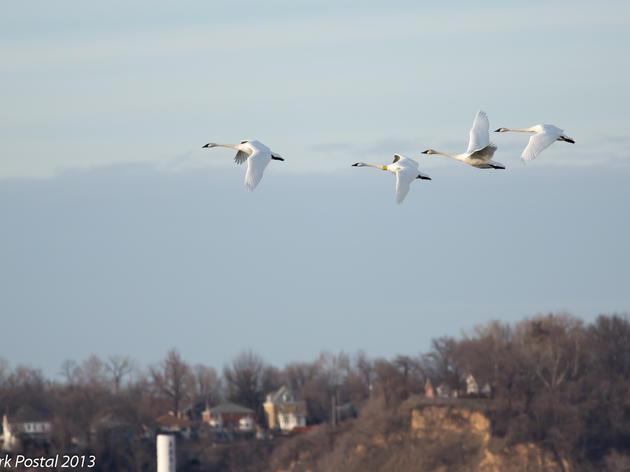 Trumpeter Swans at Riverlands